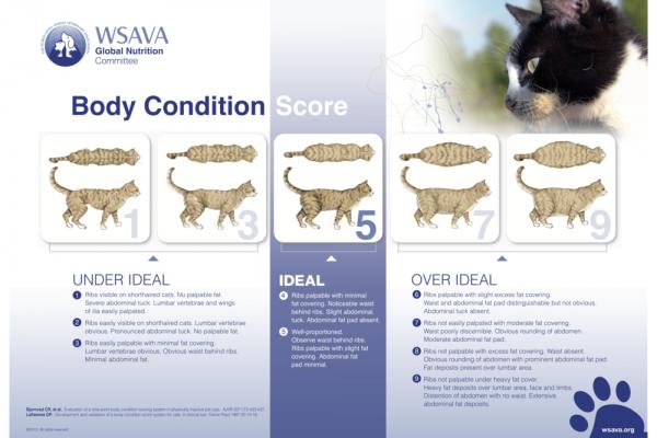 WSAVA richtlijnen voor BCS bij katten